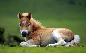 Обои природа, конь, жеребёнок