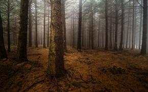 Картинка лес, ночь, туман, стволы, сосны