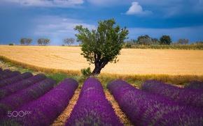 Картинка пшеница, поле, лето, небо, природа, дерево, лаванда