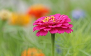 Картинка цветок, цветы, розовый, размытость, клумба