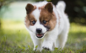 Картинка трава, взгляд, морда, поляна, портрет, собака, маленький, щенок, бежит, порода