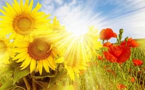 Картинка Flowers, Sun, Sunflowers, Poppies