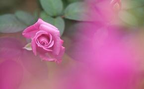 Картинка розовая, роза, размытость