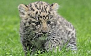 Картинка трава, Леопард, малыш