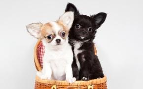 Картинка корзина, щенки, чихуахуа, милые