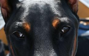Картинка глаза, взгляд, eyes, карие, Dogs, Animals, doberman, Deep