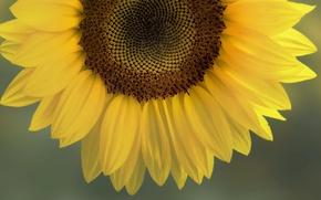 Картинка солнце, жёлтый, Подсолнух