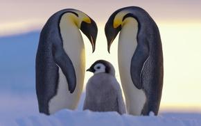 Обои север, снег, пингвины, семья