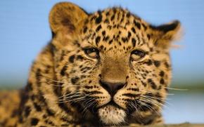 Картинка кошка, взгляд, морда, леопард, детёныш, котёнок, амурский