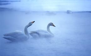 Обои вода, птицы, лебеди