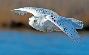 Картинка полет, птица, крылья, полярная сова