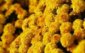 Картинка желтый, солнечный, хризантема