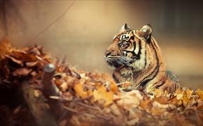 Картинка лес, тигр, настроение
