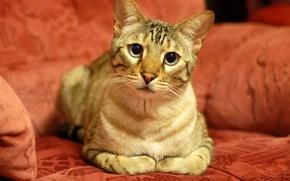 Обои взгляд, Кошка, кот