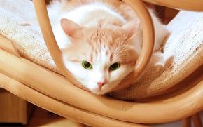 Картинка зеленый, cat, стул, котенок, kitten, kitty, eyes, красивый, green, Кошка, beautiful, глаза, chair