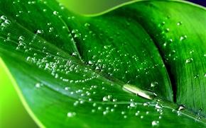 Обои роса, лист, зеленая фигня, зелень
