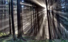 Обои деревья, лучи, свет, лес