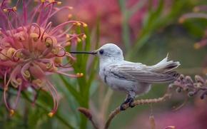 Обои цветок, колибри, птичка, Калипта Анны