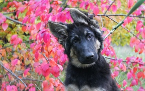 Картинка осень, Собака, щенок