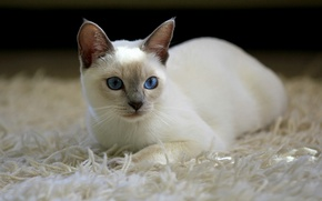 Обои кошка, белая, ковер, кот