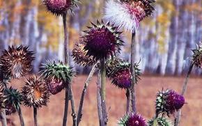 Картинка осень, трава, природа, колючка, расторопша, Татарник