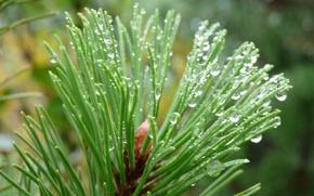 Картинка water drops, Austria, pine