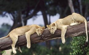 Обои дикая природа, львы, отдых, африка, дикие кошки, пара, пары, дерево, лев