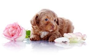 Картинка цветы, роза, собака, лепестки