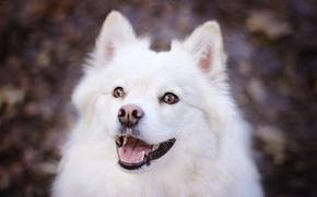 Картинка морда, собака, красава, самоед