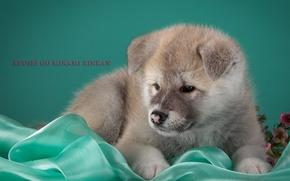Картинка щенок, бежевый, японская акита