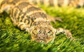 Картинка природа, фон, крокодил