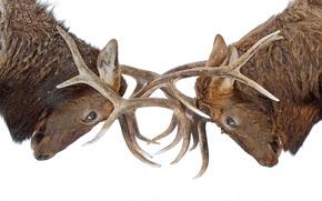 Картинка рога, схватка, лоси