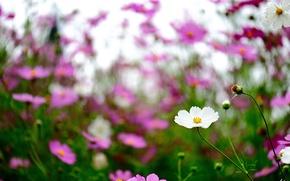 Обои цветы, космея, полевые, фокус, розовые