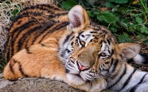 Обои взгляд, Амурский тигр, тигрёнок