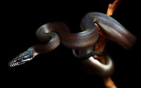 Обои змея, snake, рептилия, reptile