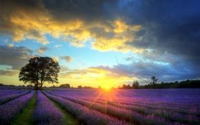 Обои дерево, поле, солнце, небо, лаванда, облака, закат