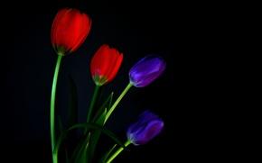 Картинка макро, фон, лепестки, стебель, тюльпаны