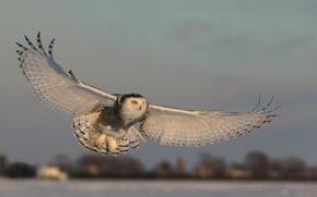 Картинка сова, крылья, полёт