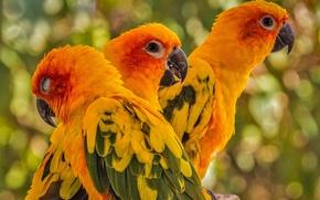 Картинка птицы, попугаи, трио, Солнечная аратинга