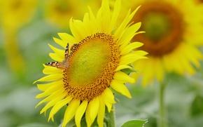 Картинка цветок, бабочка, подсолнух, лепестки, мотылек