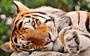 Обои морда, полоски, тигр, лапа, хищник, голова, лежит, грязный нос, семейство кошачьих