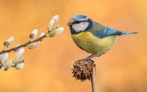 Обои птица, ветка, перья, верба, синица