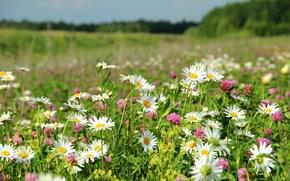 Картинка поле, лето, цветы, природа
