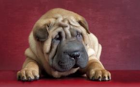 Картинка друг, собака, Шарпеи