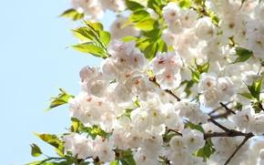 Картинка небо, листья, цветы, ветки, весна, лепестки, сакура, цветение