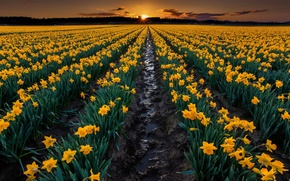 Картинка поле, закат, цветы, природа, земля, вечер, желтые, грядки, Нарциссы