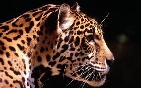 Картинка солнце, хищник, леопард