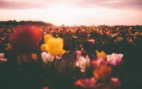 Обои цветы, тюльпаны, боке, поле, поле тюльпанов, солнце, небо, облака