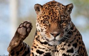 Картинка взгляд, морда, лапа, хищник, ягуар