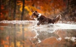 Картинка вода, брызги, собака, бег